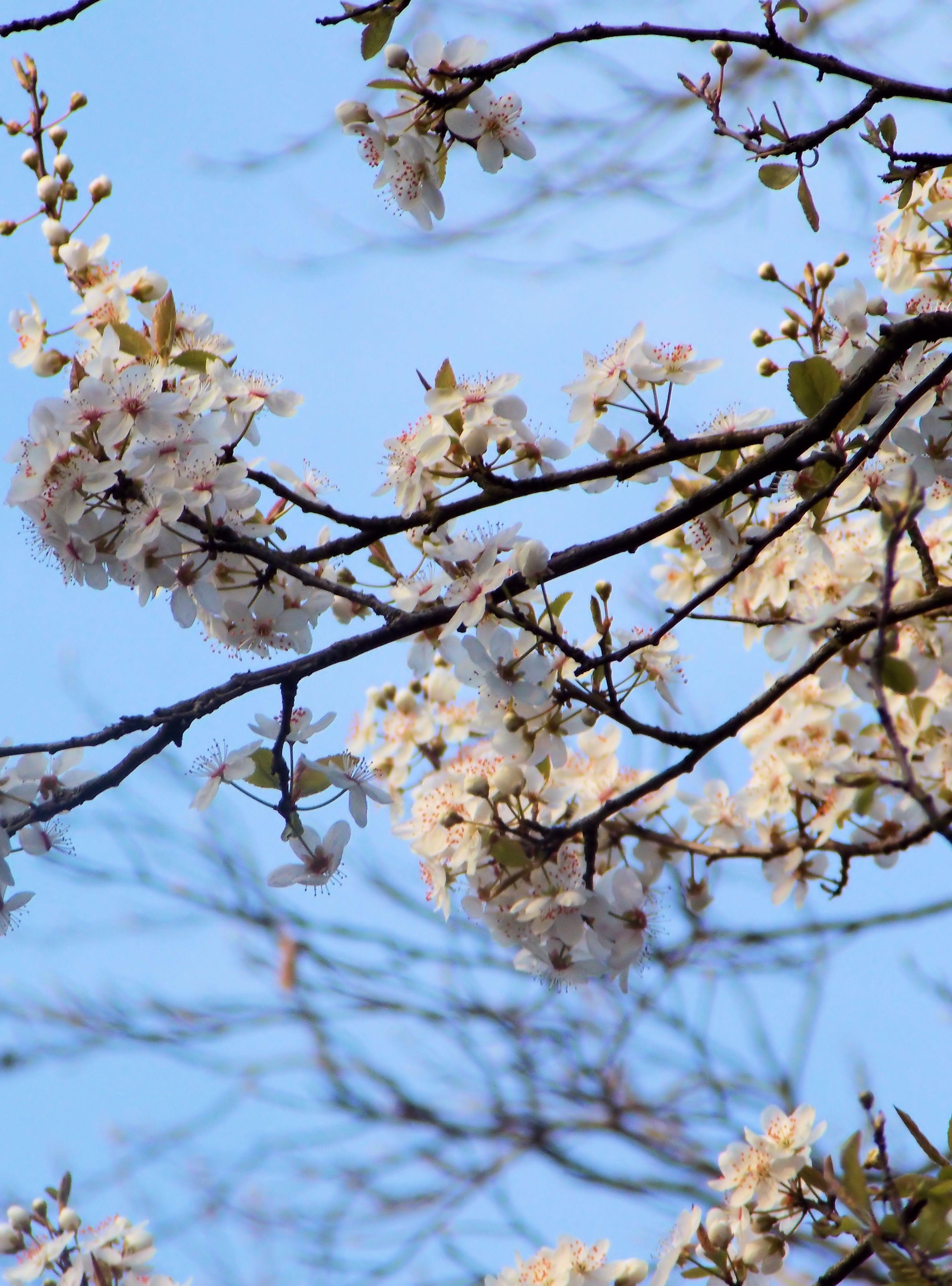 Cherry Blossom dating rekisteröityä