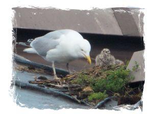 seagulbaby